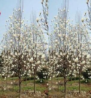 马褂木、花石榴、毛白杨、合欢、白玉兰、水杉、红枫、云杉、白蜡